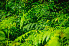 Jungle and tropical vegetation. Multitude of leaves of fern in a tropical jungle Stock Image