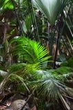 Jungle Valle de Mai on the Seychelles islands. A tropical green rainforest on the Seychelles island Praslin, Valle de Mai stock images