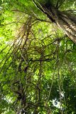 Jungle vines complexity. Dynamic view of tangled jungle lianas in tioman island rainforest, malaysia Royalty Free Stock Photo