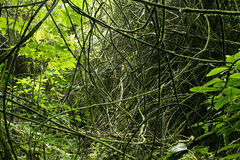 Jungle vines. Vines in tropical jungle forest Royalty Free Stock Photos