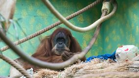 This is King Louie and he has something he wants to say. The jungle VIP / I`ve reached the top and had to stopped / And that`s what botherin` me / I wanna be a Royalty Free Stock Photos