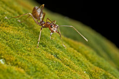 Jungle weaver ants. An aggressive jungle weaver ants look into the lens with angry face. They will actually very protective to the colony once they sense the Stock Photography
