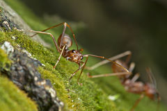Jungle weaver ants. An aggressive jungle weaver ants look into the lens with angry face. They will actually very protective to the colony once they sense the Stock Photos