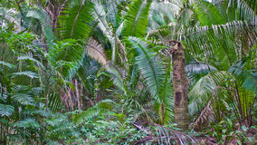 Jungle-wilderness. Piece of jungle with wild growing fern and palmtrees in guatemala Royalty Free Stock Photos