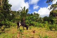 Jungle Zebu Royalty Free Stock Photo