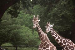 Jungle Zoo. A picture of two Giraffes standing tall in a jungle like atmosphere Royalty Free Stock Photo