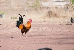 Junglefowl rosso Fotografia Stock