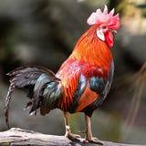 Junglefowl rouge Photo libre de droits
