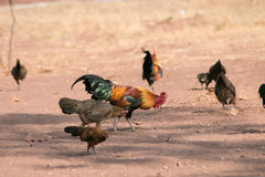 Junglefowl rouge Photos libres de droits