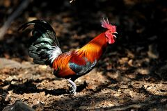 Junglefowl rouge Image stock