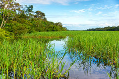Jungles Grasses in the Amazon Royalty Free Stock Photography