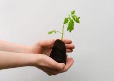 Jungpflanze in den Mädchenhänden mit Boden auf neutralem Hintergrund Lizenzfreie Stockbilder
