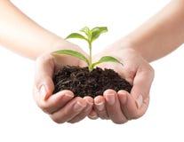 Jungpflanze in den menschlichen Händen Stockfotos