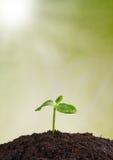 Jungpflanze in der Erde, Konzept des neuen Lebens Stockbilder