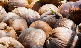 Jungpflanze der Kokosnuss Stockbild