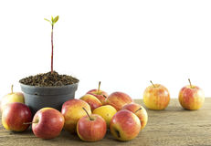 Jungpflanze im Topf lokalisiert und Apfel auf den weißen Hintergründen Lizenzfreie Stockbilder