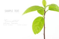 Jungpflanzebaum auf weißem Hintergrund Lizenzfreie Stockfotos