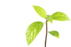 Jungpflanzebaum auf weißem Hintergrund Lizenzfreie Stockbilder