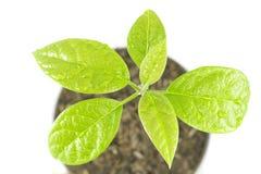 Jungpflanzebaum auf weißem Hintergrund Lizenzfreies Stockbild