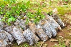 Jungpflanzen in den kleinen Plastiktaschen Stockbild