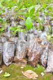 Jungpflanzen in den kleinen Plastiktaschen Stockbilder
