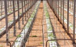 Jungpflanzen, die in der sehr großen Anlage im Handelsgewächshaus wachsen Stockbilder