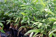 Jungpflanzen, die in der Topfreihe wachsen stockfotos