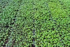 Jungpflanzen fangen an, in den Kindertagesstättentöpfen zu wachsen lizenzfreie stockfotografie