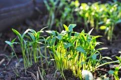 Jungpflanzen mit Sonnenlicht stockfotos