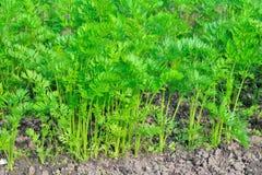 Jungpflanzen von Karotten im Garten an einem sonnigen Tag stockfotos