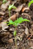 Jungpflanzesäen Lizenzfreie Stockfotografie