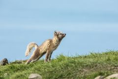 Jungsausdehnen des arktischen Fuchses Lizenzfreie Stockbilder