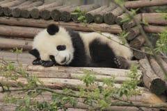 Jungsschlafen des großen Pandas Lizenzfreie Stockfotos