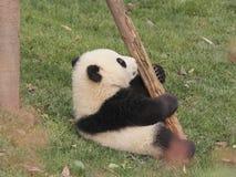 Jungsspielen des großen Pandas Lizenzfreies Stockbild