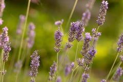 Juni is het seizoen van lavendel stock afbeelding