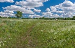Juni-Landschaft mit Feld der wilden Kamille und einsamer Kuh Stockbilder