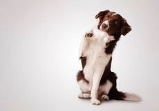 Junior brown border collie sitting and raising a paw Royalty Free Stock Photo