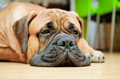 Junior bullmastiff dog Stock Images