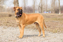 Junior bullmastiff dog Stock Photos