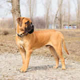 Junior bullmastiff dog. Junior puppy bullmastiff stands outside in the park. dog 9 months age royalty free stock photo