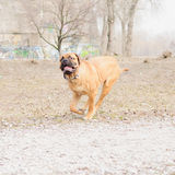 Junior dog bulmastiff Stock Photo