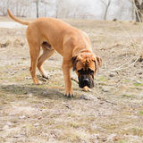 Junior dog bulmastiff Royalty Free Stock Image