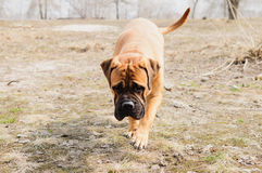 Junior dog bulmastiff Stock Photos