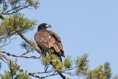 Junior eagle on branch. Stock Photo