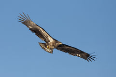 Junior eagle with wings spread. Royalty Free Stock Photography