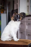 Junior papillon dog. A portrait of a pedigree junior white and sable continental toy spaniel papillon dog Royalty Free Stock Photo