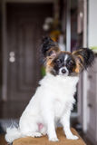 Junior papillon dog. A portrait of a pedigree junior white and sable continental toy spaniel papillon dog Stock Photo