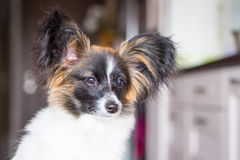 Junior papillon dog. A portrait of a pedigree junior white and sable continental toy spaniel papillon dog Royalty Free Stock Image