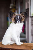 Junior papillon dog. A portrait of a pedigree junior white and sable continental toy spaniel papillon dog Stock Photography