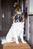 Junior papillon dog. A portrait of a pedigree junior white and sable continental toy spaniel papillon dog Stock Image